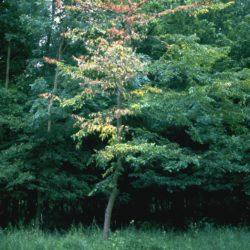 Dutch elm disease, Ophiostoma ulmi