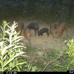 Feral pig, Sus scrofa Fred Greetham, Bugwood.org